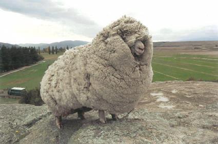 Shrek the runaway sheep